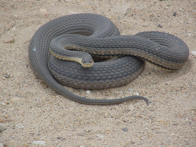Snakes Of Eastern Kansas Related Keywords & Suggestions - Snakes Of ...