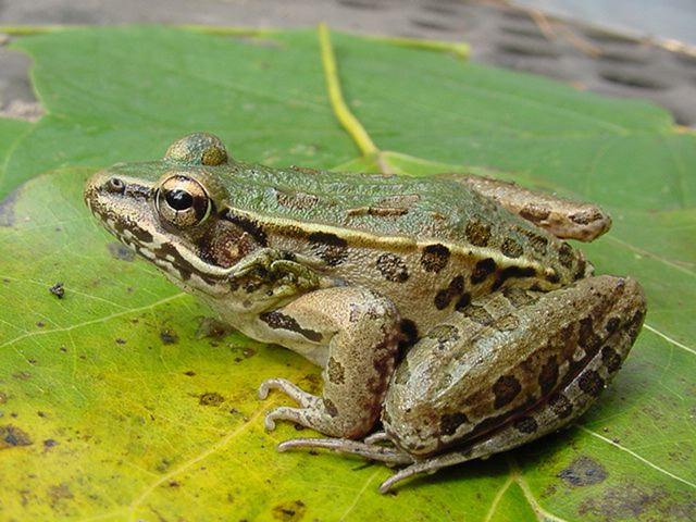 Southernleopardfrog