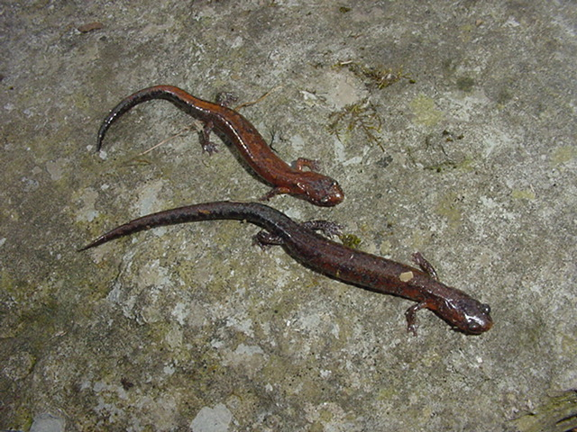 EasternZigzagSalamander
