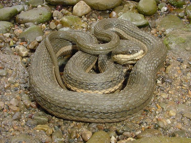Indiana Snakes Pictures List Www Picsbud Com