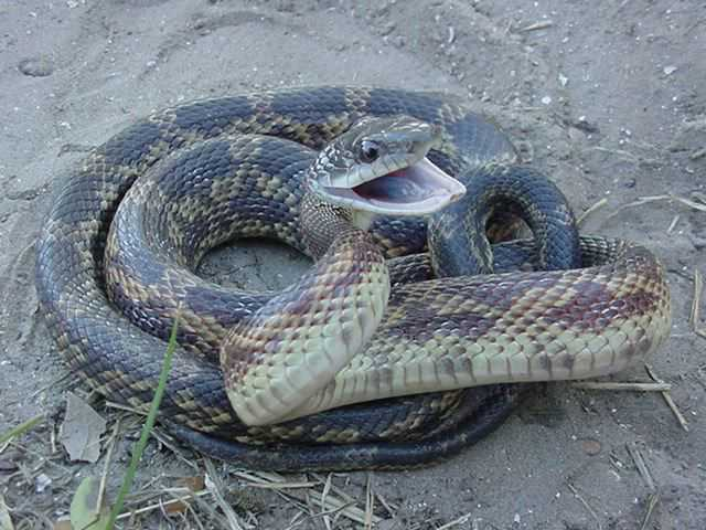rat snake texas images - photo #10