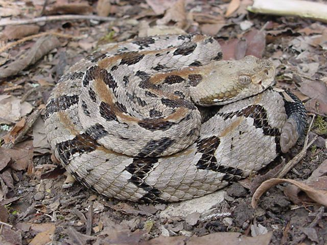 Snake ID   TigerDroppings.com