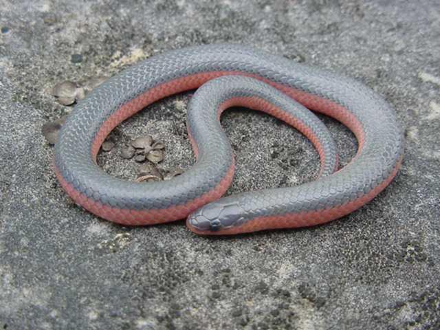 Juvenile Western Worm SnakeWestern Worm Snake